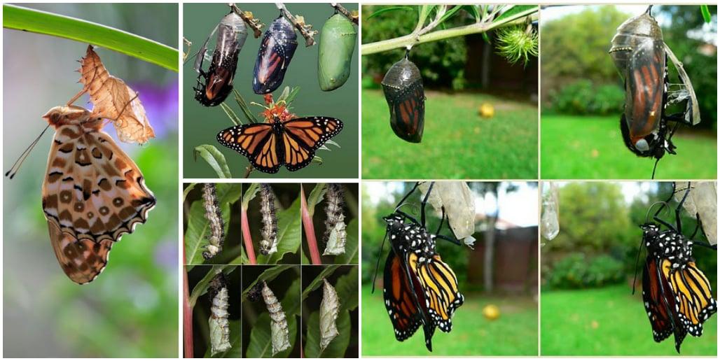 Разведение бабочек в домашних условиях
