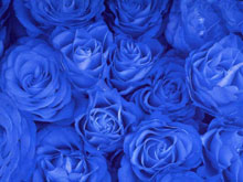 Where to buy blue roses. How to get blue roses.