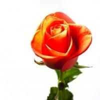 Cluster Rose